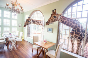 Safari Scapes Kenya Giraffe Manor