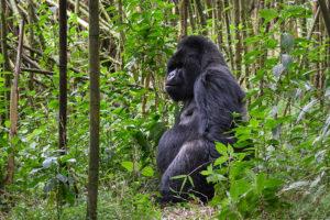 Safari Scapes Rwanda Bisate Lodge
